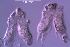 Cuscuta approximata - infrastaminal scales