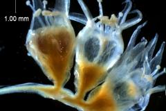 Cuscuta californica var. californica - fragment of inflorescence