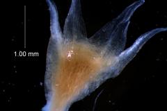 Cuscuta californica var. californica - calyx, 3D