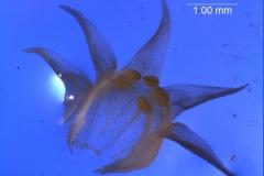 Cuscuta californica var. californica - corolla, 3D