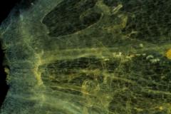Cuscuta rostrata - infrastaminal scales