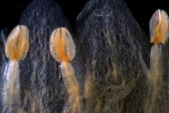 Cuscuta rostrata - corolla lobes & stamens