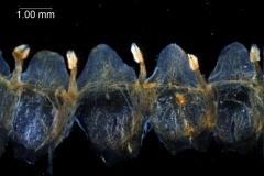 Cuscuta gronovii var. gronovii - corolla, dissected