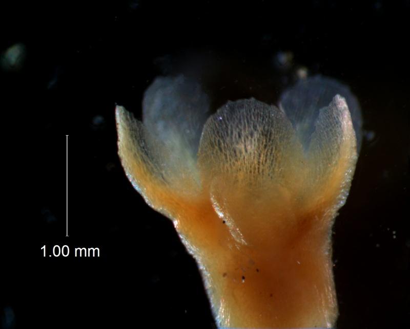 Cuscuta gronovii var. latiflora - calyx, 3D
