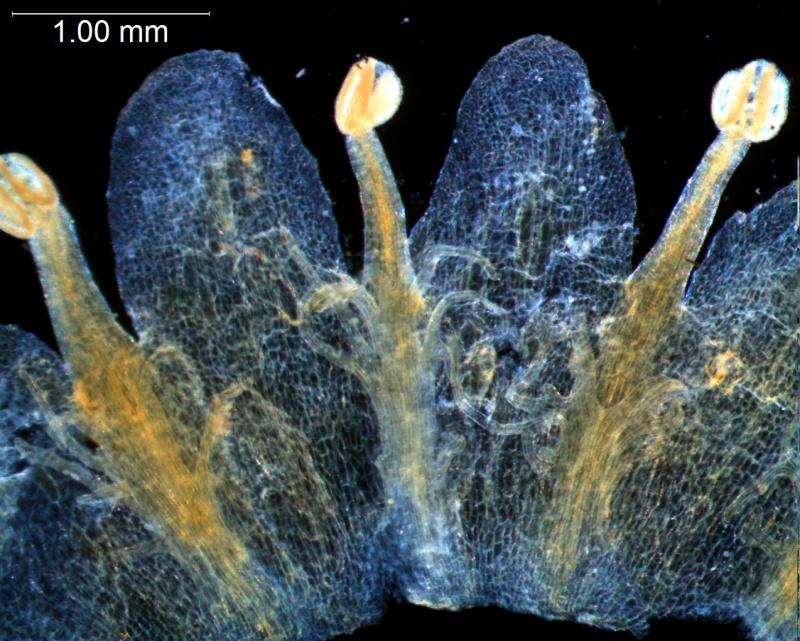 Cuscuta gronovii var. latiflora - infrastaminal scales