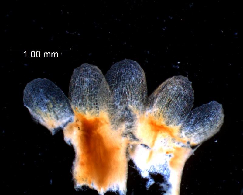 Cuscuta gronovii var. latiflora - calyx, dissected