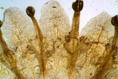 Cuscuta gronovii var. latiflora - corolla, dissected