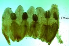 Cuscuta japonica var. formosana - corolla, dissected