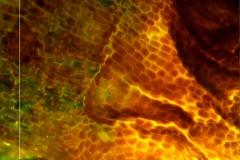 Cuscuta japonica var. formosana - surface of calyx base