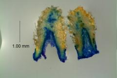Cuscuta japonica var. formosana - infrastaminal scales