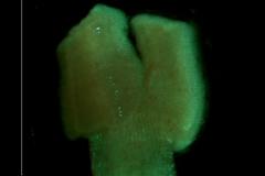 Cuscuta japonica var. formosana - stigma