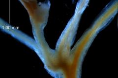 Cuscuta umbellata  var. umbellata - inflorescence fragment