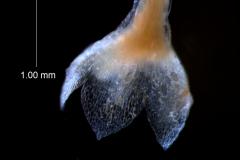Cuscuta umbellata  var. umbellata - calyx, 3D