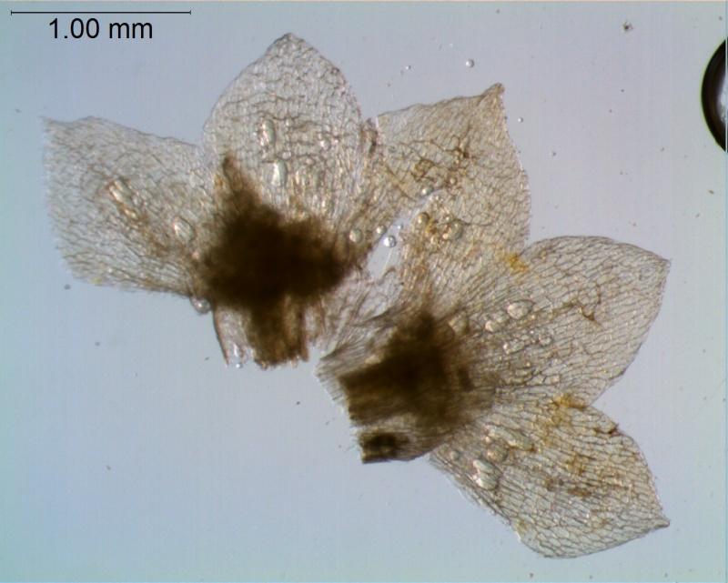 Cuscuta umbellata  var. umbellata - calyx, dissected