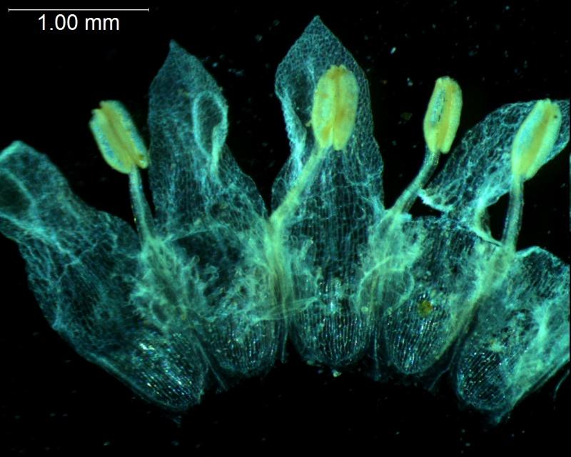 Cuscuta umbellata  var. umbellata - corolla, dissected