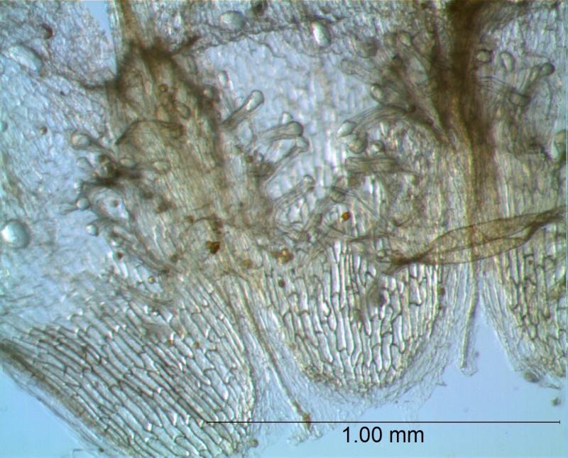 Cuscuta umbellata  var. umbellata - infrastaminal scales