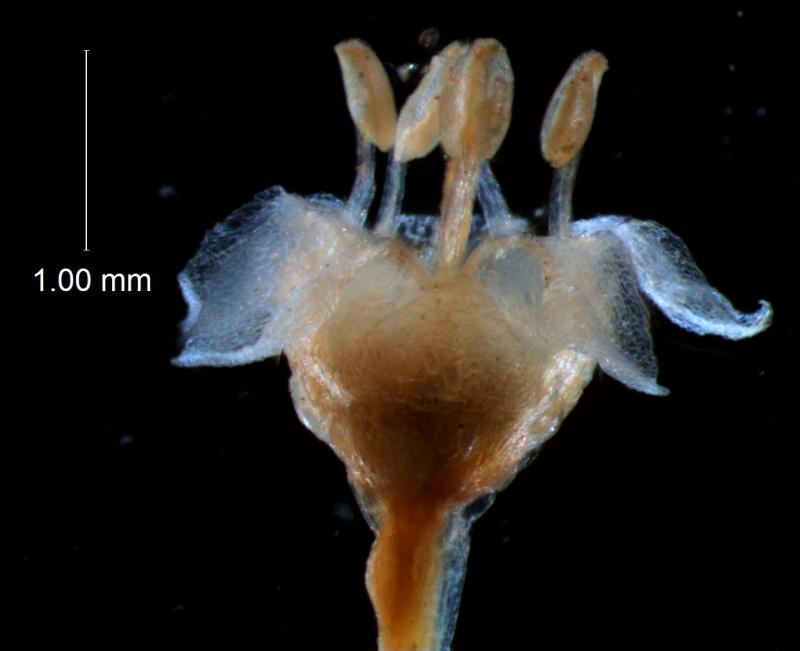 Cuscuta umbellata  var. umbellata - flower