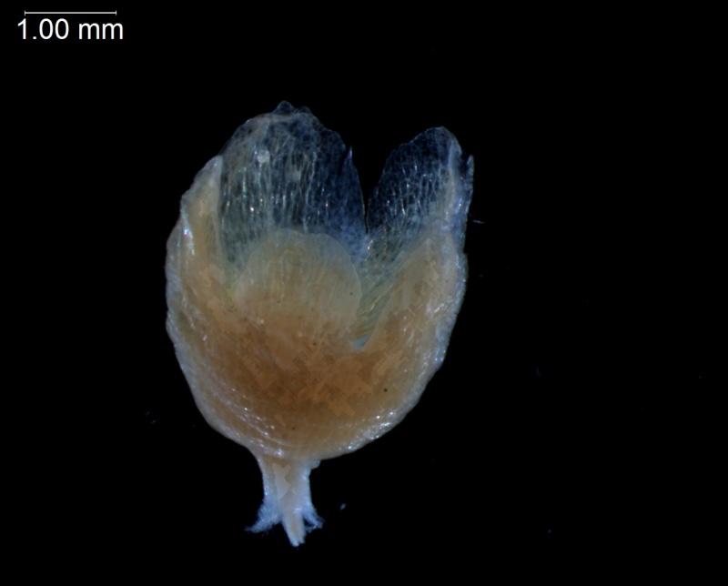 Cuscuta decipiens - calyx, 3D