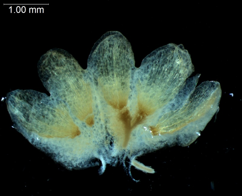 Cuscuta decipiens - calyx, dissected
