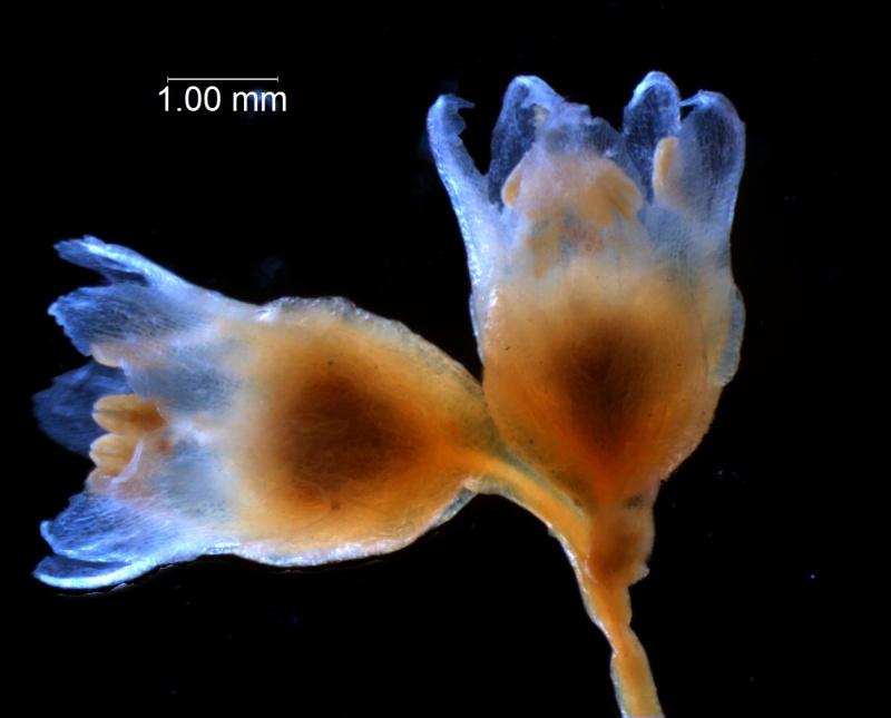 Cuscuta decipiens - inflorescence fragment