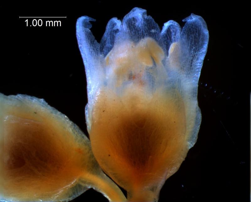 Cuscuta decipiens -flower
