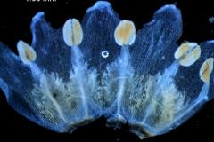 Cuscuta decipiens - corolla, dissected