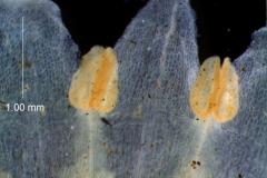 Cuscuta cassytoides - corolla lobes and stamens