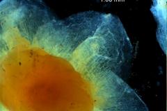 Cuscuta cassytoides - calyx lobes detail