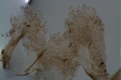 Cuscuta cassytoides - infrastaminal scales