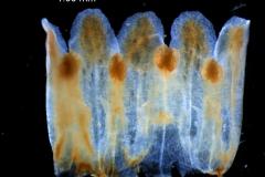 Cuscuta exaltata Engelm. - corolla, dissected