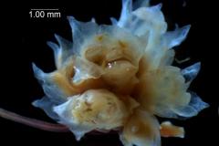 Cuscuta epithymum var. (subsp) epithymum: inflorescence