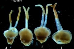 Cuscuta epithymum var. (subsp) epithymum: gynoecia