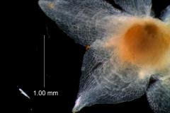 Cuscuta epithymum var. (subsp) epithymum: calyx lobes