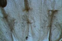 Cuscuta epithymum var. (subsp) epithymum: infrastaminal scales