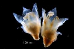 Cuscuta epithymum var. (subsp) epithymum: flowers
