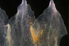 Cuscuta epithymum var. (subsp) epithymum: corolla lobes
