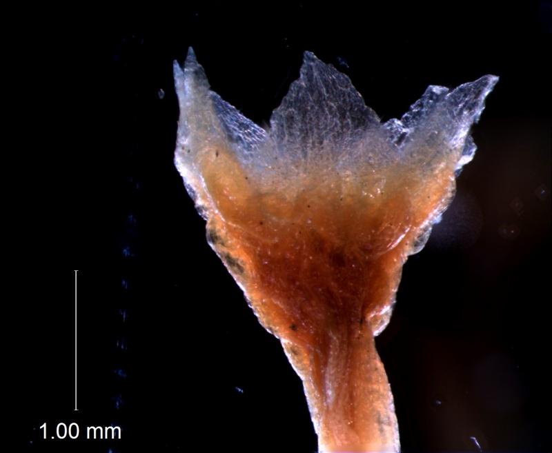 Cuscuta brachycalyx var. apodanthera, calyx 3D