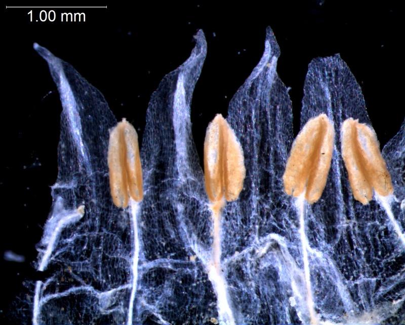 Cuscuta brachycalyx var. apodanthera  corolla lobes and stamens
