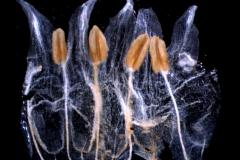 Cuscuta brachycalyx var. apodanthera  corolla dissected