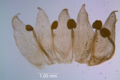 Cuscuta occidentalis - corolla dissected