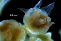 Cuscuta occidentalis - flower - capsule stage