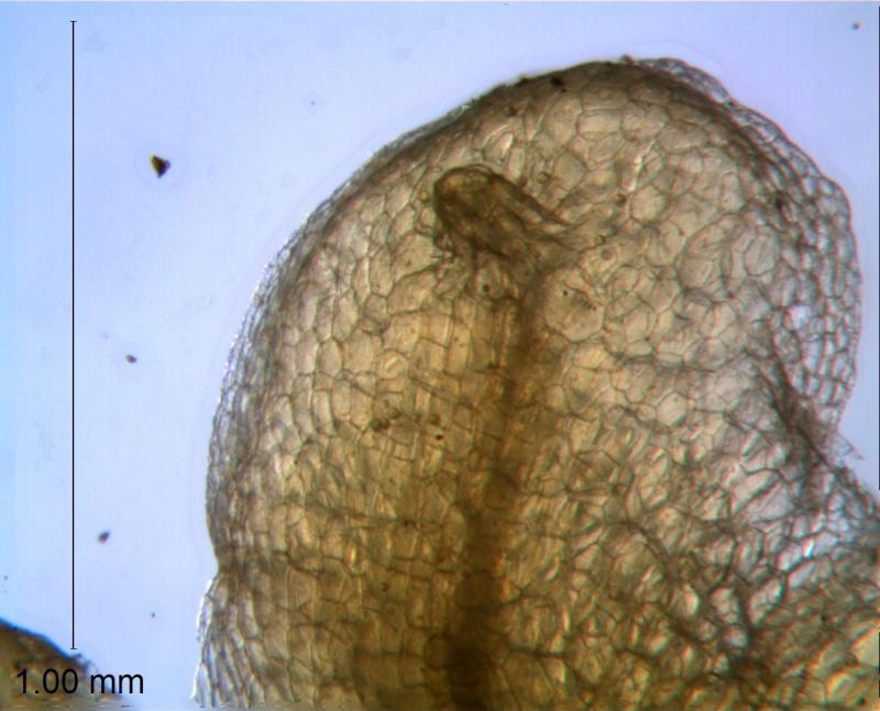 Cuscuta draconella, ined,  calyx lobe detail