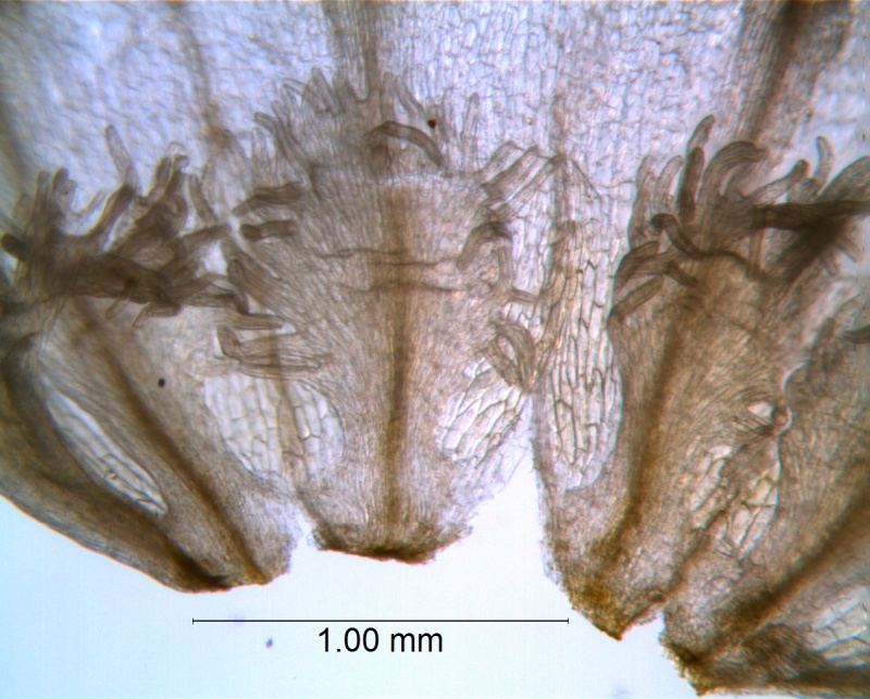 Cuscuta draconella, ined,  infrastaminal scales