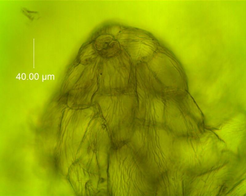 Cuscuta draconella, ined,  calyx: multicellular protuberance