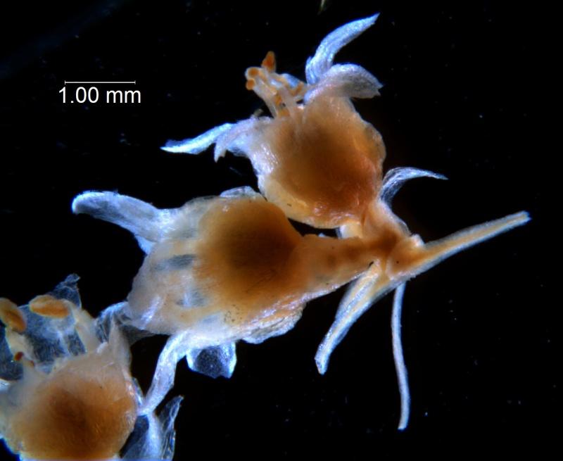 Cuscuta draconella, ined, fragment of cyme