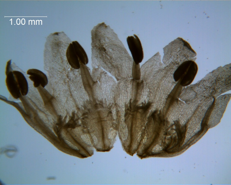 Cuscuta draconella, ined,  corolla dissected