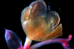 Cuscuta draconella, ined,  calyx 3D