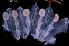 Cuscuta draconella, corolla dissected