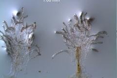 Cuscuta draconella,  infrastaminal scales