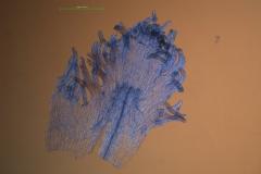 Cuscuta glabrior - infrastaminal scales